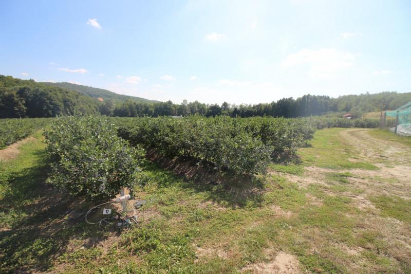 Plantatie afine, 5.2 ha, soi tarziu, certificata Global G.A.P. ,anul 6 productie